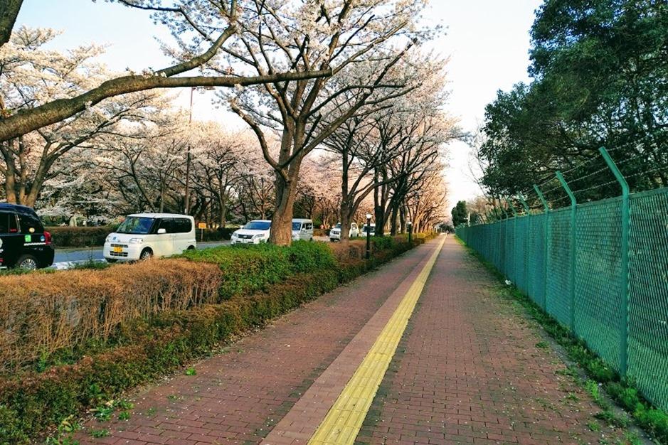 スタジアム通り桜